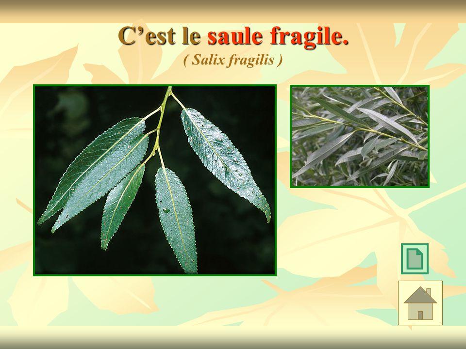 Cest le saule fragile. Cest le saule fragile. ( Salix fragilis )