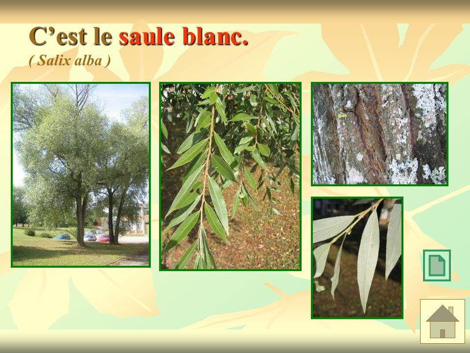 Cest le saule blanc. Cest le saule blanc. ( Salix alba )