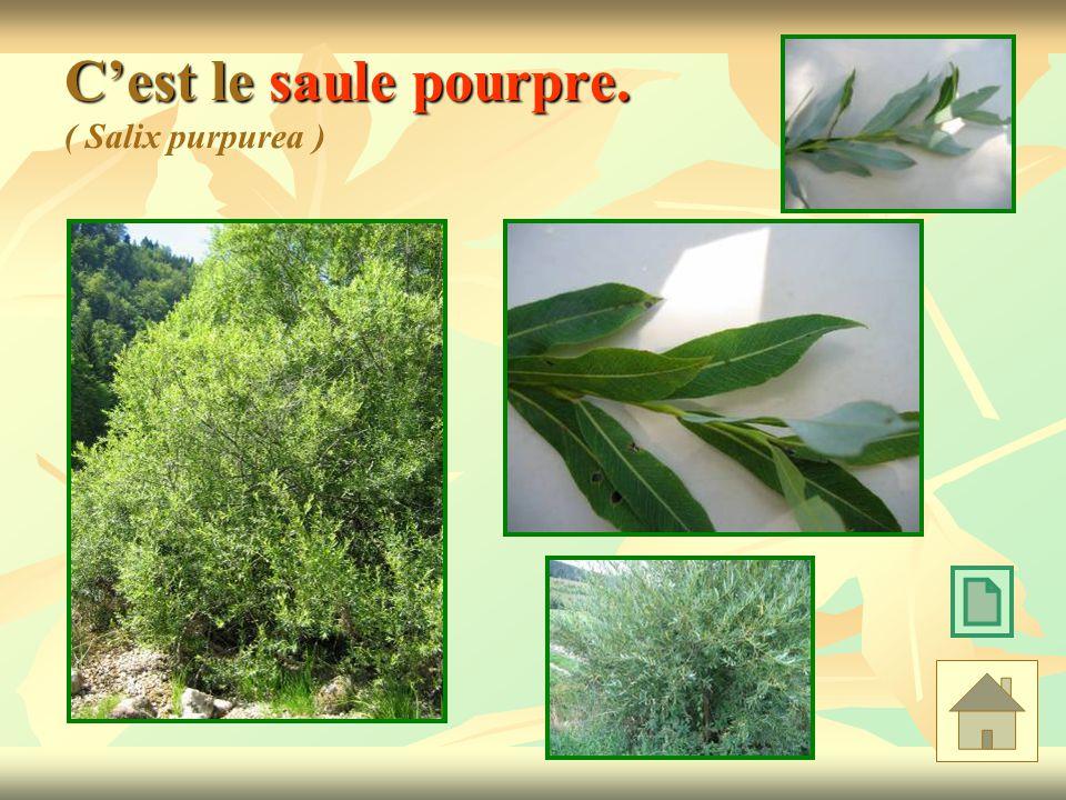 Cest le saule pourpre. Cest le saule pourpre. ( Salix purpurea )