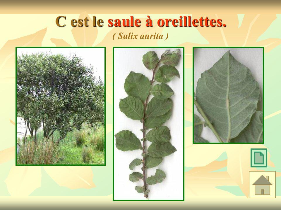 C est le saule à oreillettes. C est le saule à oreillettes. ( Salix aurita )