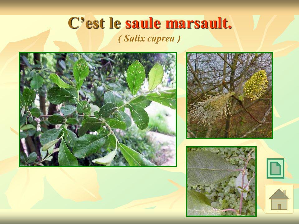 Cest le saule marsault. Cest le saule marsault. ( Salix caprea )