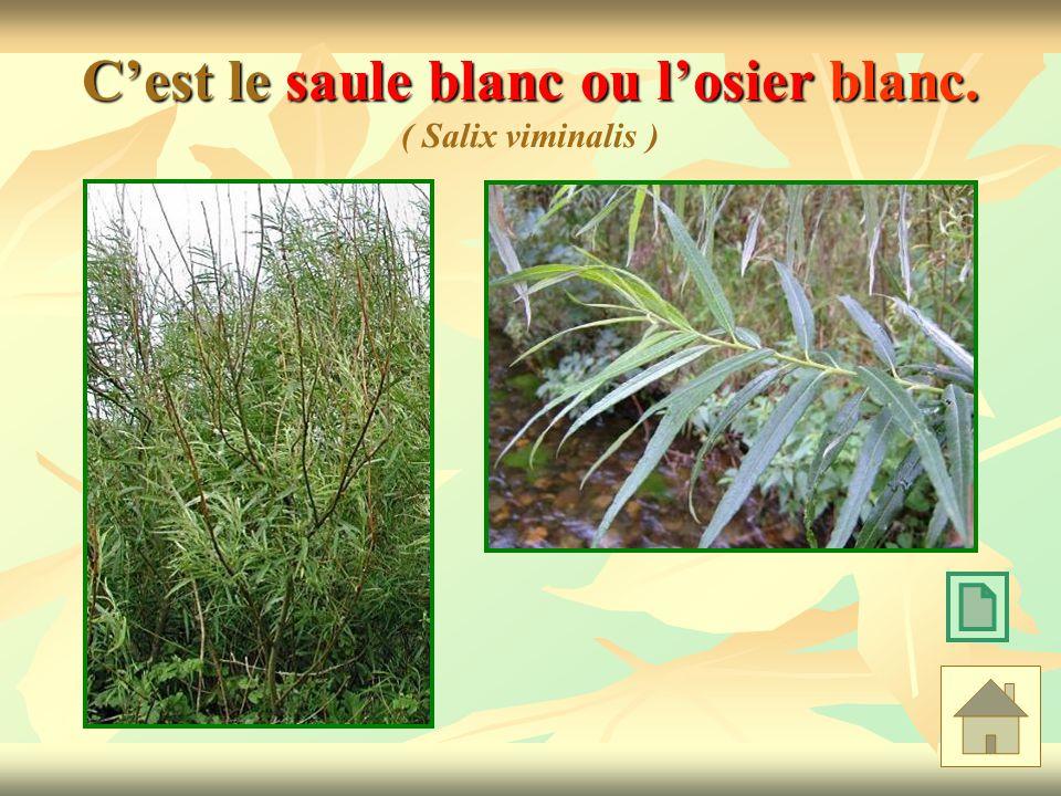 Cest le saule blanc ou losier blanc. Cest le saule blanc ou losier blanc. ( Salix viminalis )