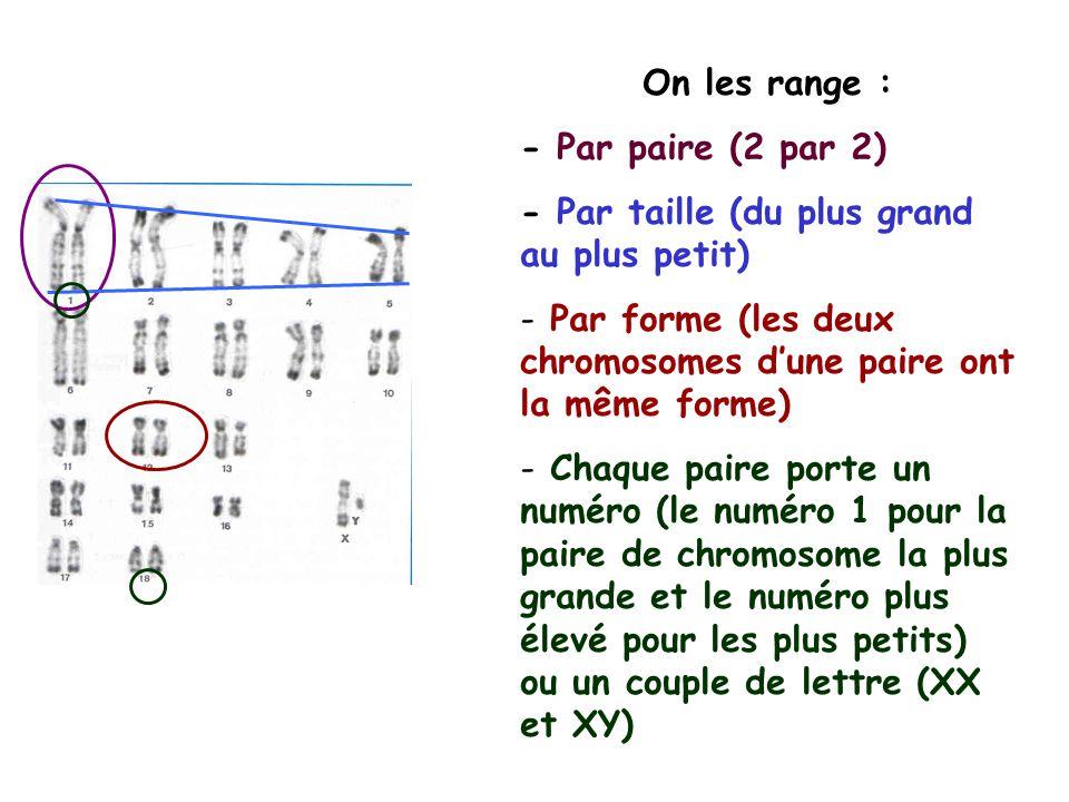 On les range : - Par paire (2 par 2) - Par taille (du plus grand au plus petit) - Par forme (les deux chromosomes dune paire ont la même forme) - Chaque paire porte un numéro (le numéro 1 pour la paire de chromosome la plus grande et le numéro plus élevé pour les plus petits) ou un couple de lettre (XX et XY)