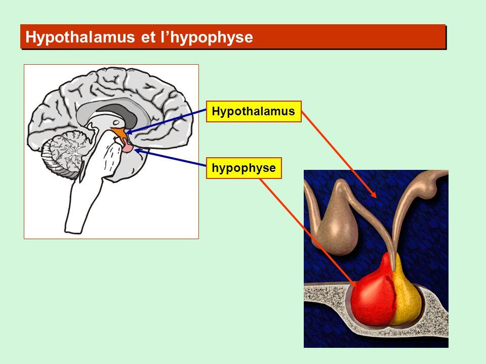 Hypothalamus et lhypophyse hypophyse Hypothalamus