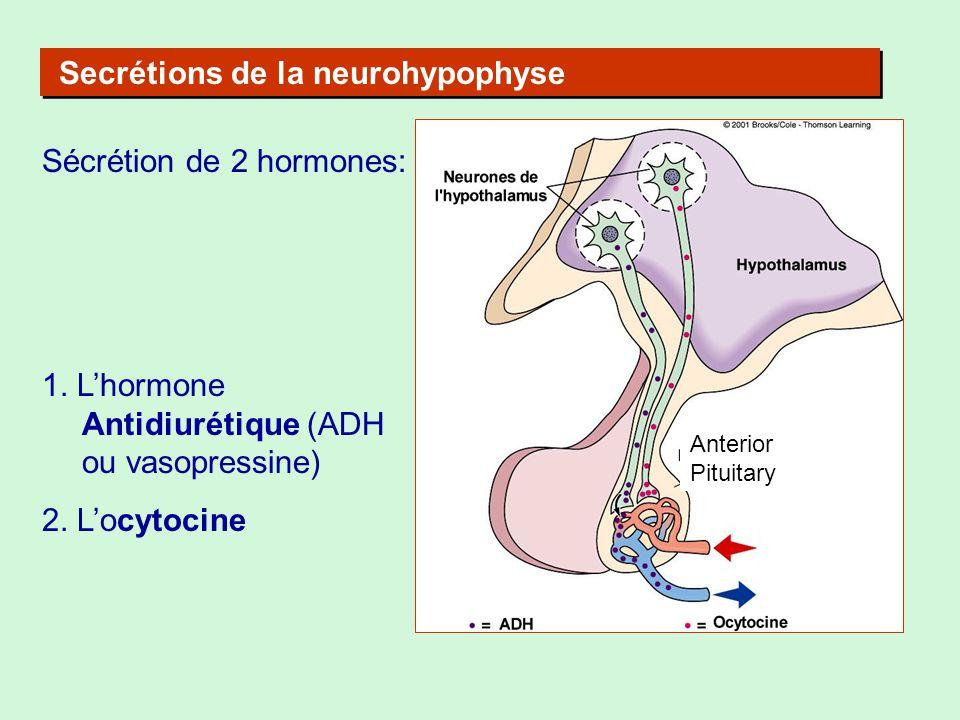 Secrétions de la neurohypophyse Sécrétion de 2 hormones: 1. Lhormone Antidiurétique (ADH ou vasopressine) 2. Locytocine Anterior Pituitary