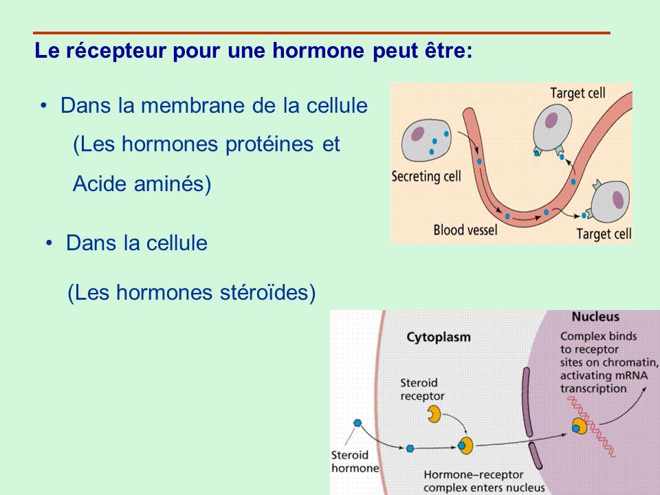 Le récepteur pour une hormone peut être: Dans la membrane de la cellule Dans la cellule (Les hormones protéines et Acide aminés) (Les hormones stéroïd