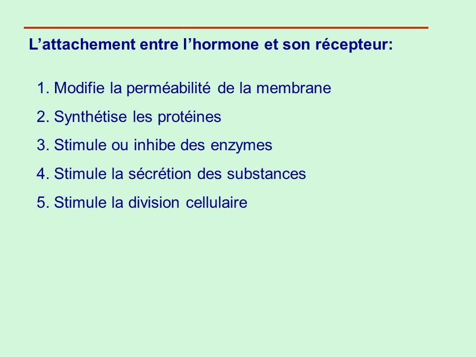 Lattachement entre lhormone et son récepteur: 1. Modifie la perméabilité de la membrane 2. Synthétise les protéines 3. Stimule ou inhibe des enzymes 4