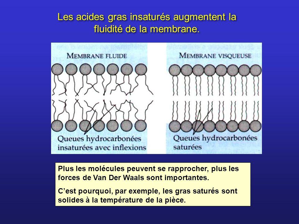 Les acides gras insaturés augmentent la fluidité de la membrane. Plus les molécules peuvent se rapprocher, plus les forces de Van Der Waals sont impor
