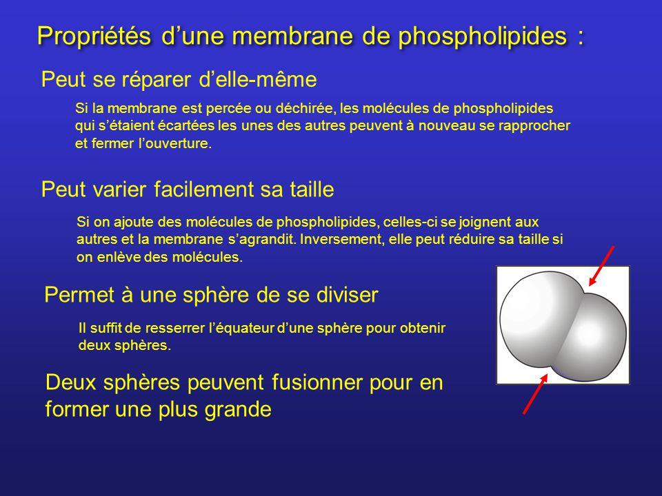 Propriétés dune membrane de phospholipides : Peut se réparer delle-même Si la membrane est percée ou déchirée, les molécules de phospholipides qui sét
