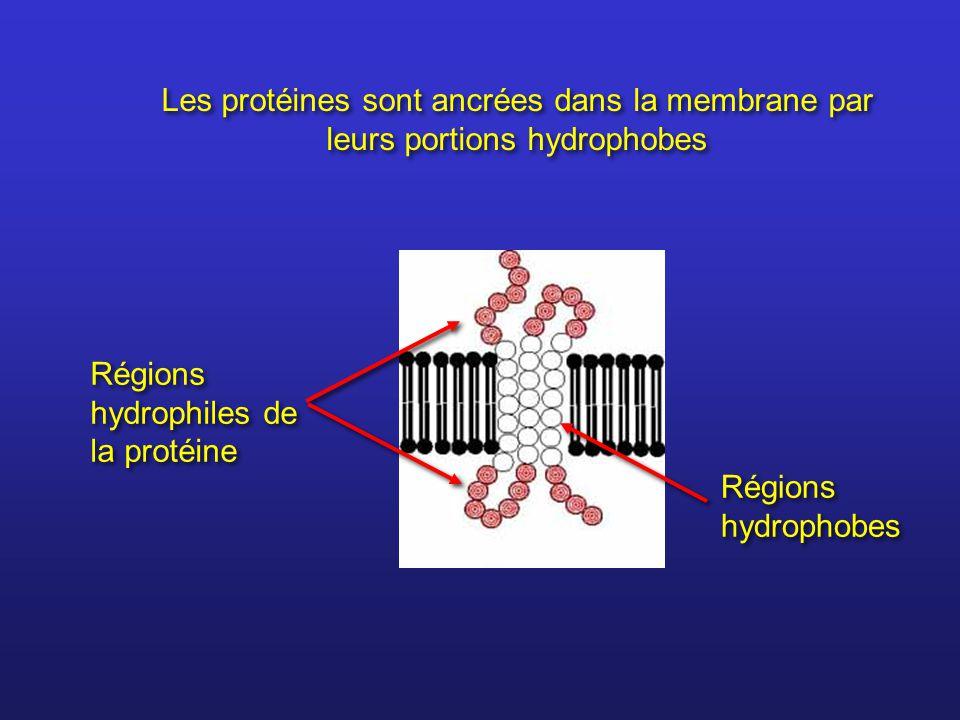 Régions hydrophiles de la protéine Régions hydrophobes Les protéines sont ancrées dans la membrane par leurs portions hydrophobes