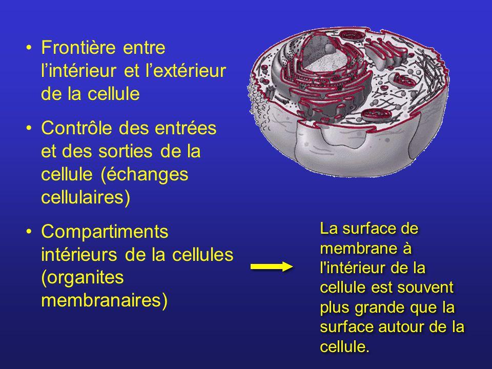 Frontière entre lintérieur et lextérieur de la cellule Contrôle des entrées et des sorties de la cellule (échanges cellulaires) Compartiments intérieu