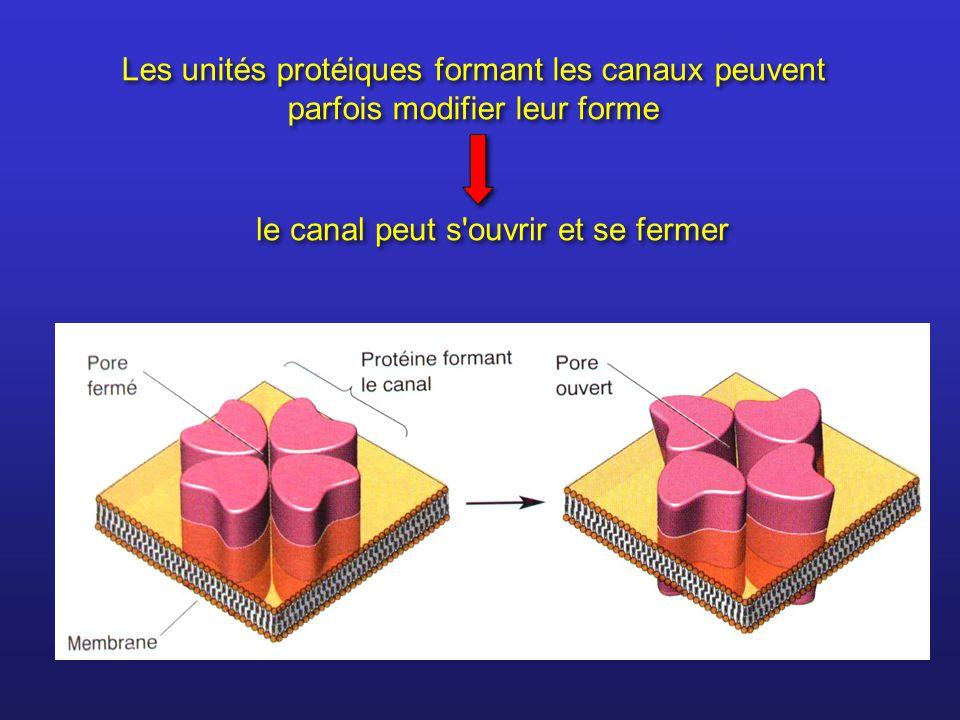 Les unités protéiques formant les canaux peuvent parfois modifier leur forme le canal peut s'ouvrir et se fermer