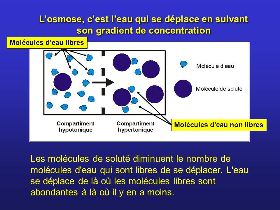 Losmose, cest leau qui se déplace en suivant son gradient de concentration Les molécules de soluté diminuent le nombre de molécules d'eau qui sont lib
