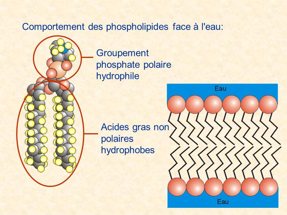 Comportement des phospholipides face à l'eau: Groupement phosphate polaire hydrophile Acides gras non polaires hydrophobes
