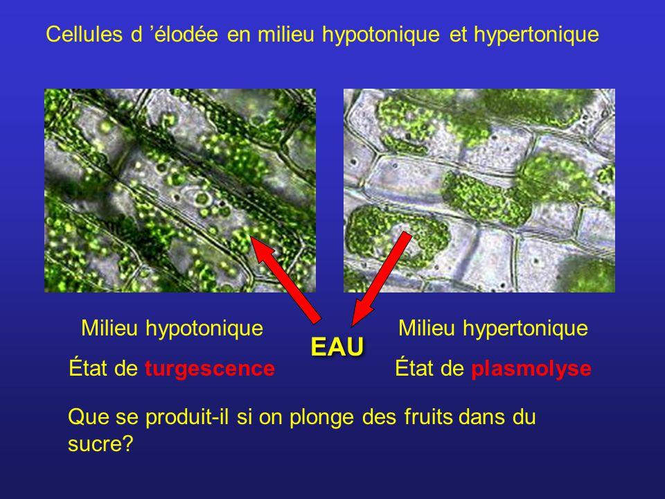 Cellules d élodée en milieu hypotonique et hypertonique Milieu hypotonique État de turgescence Milieu hypertonique État de plasmolyse Que se produit-i