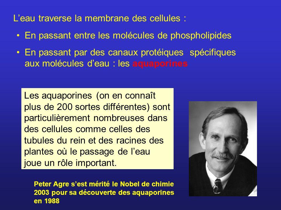 Leau traverse la membrane des cellules : En passant entre les molécules de phospholipides En passant par des canaux protéiques spécifiques aux molécul