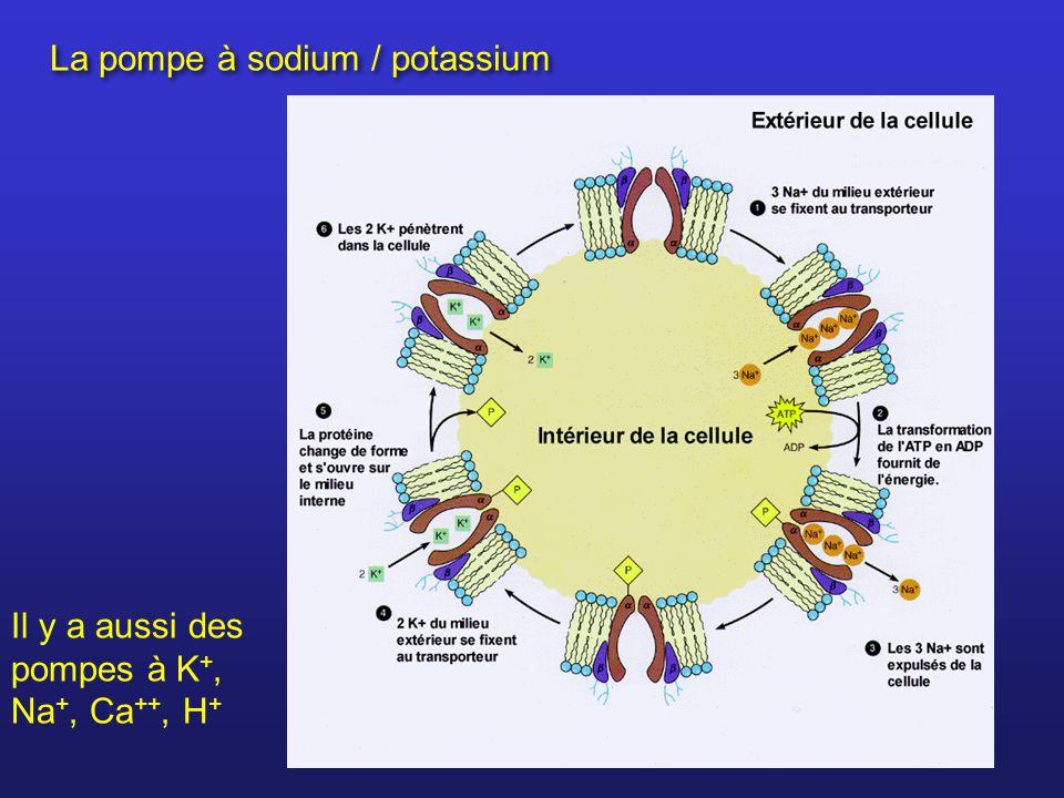 La pompe à sodium / potassium Il y a aussi des pompes à K +, Na +, Ca ++, H +