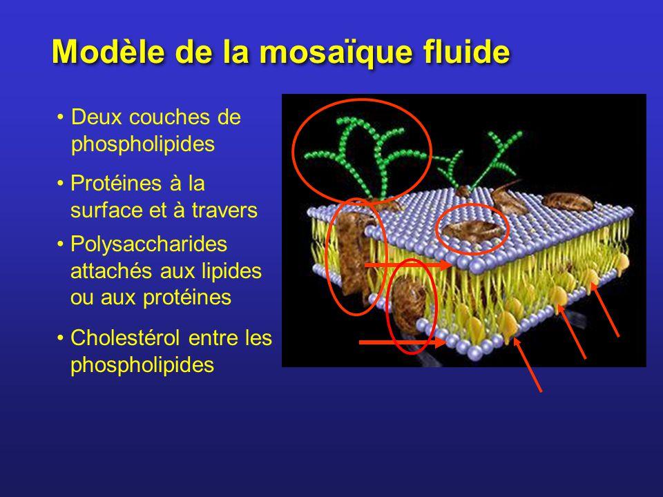 Modèle de la mosaïque fluide Deux couches de phospholipides Protéines à la surface et à travers Polysaccharides attachés aux lipides ou aux protéines