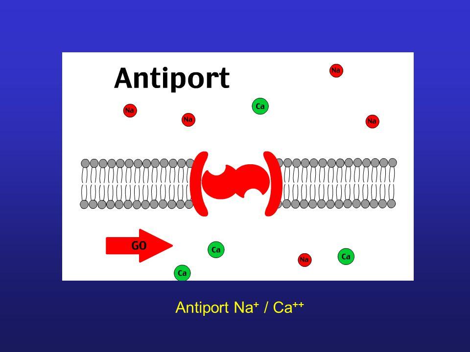Antiport Na + / Ca ++