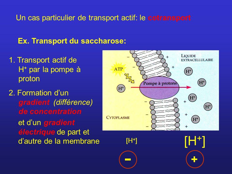 Un cas particulier de transport actif: le cotransport Ex. Transport du saccharose: 1. Transport actif de H + par la pompe à proton 2. Formation dun gr
