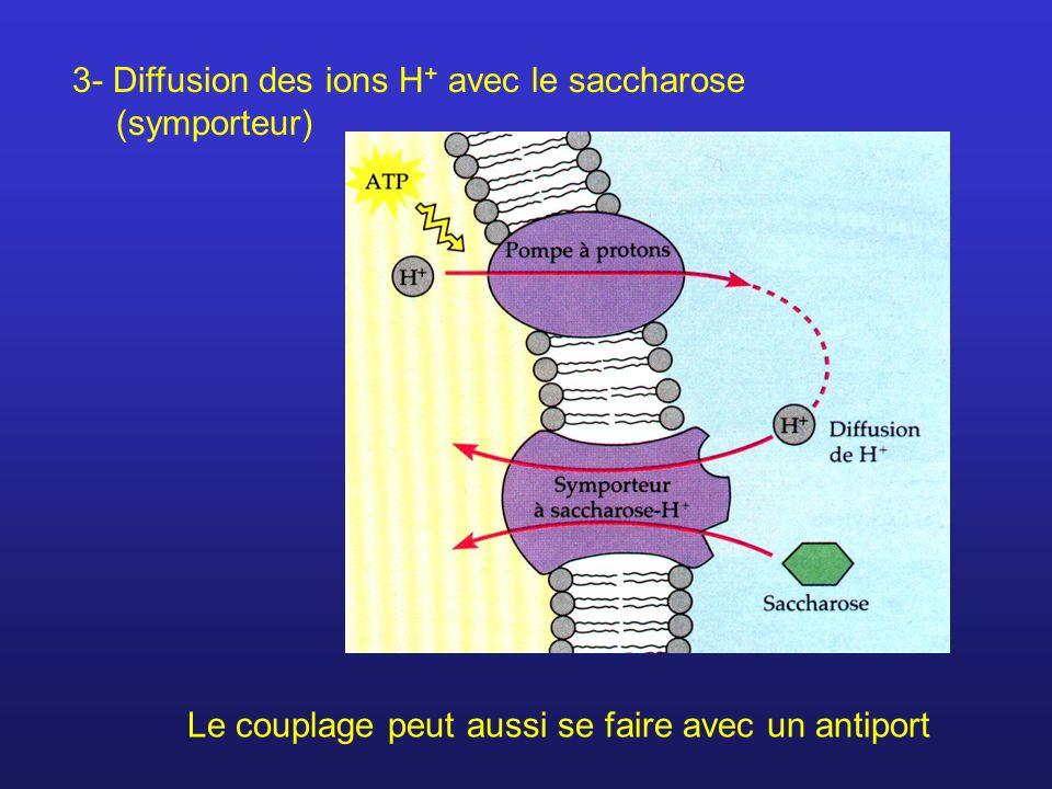 3- Diffusion des ions H + avec le saccharose (symporteur) Le couplage peut aussi se faire avec un antiport