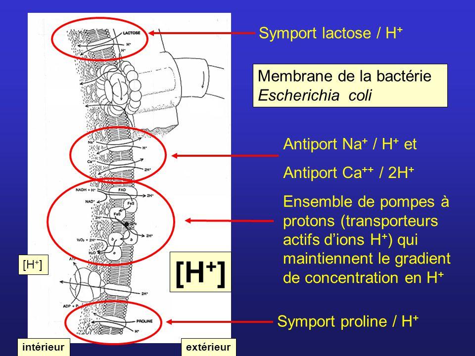 Symport lactose / H + Antiport Na + / H + et Antiport Ca ++ / 2H + Symport proline / H + Membrane de la bactérie Escherichia coli intérieurextérieur E