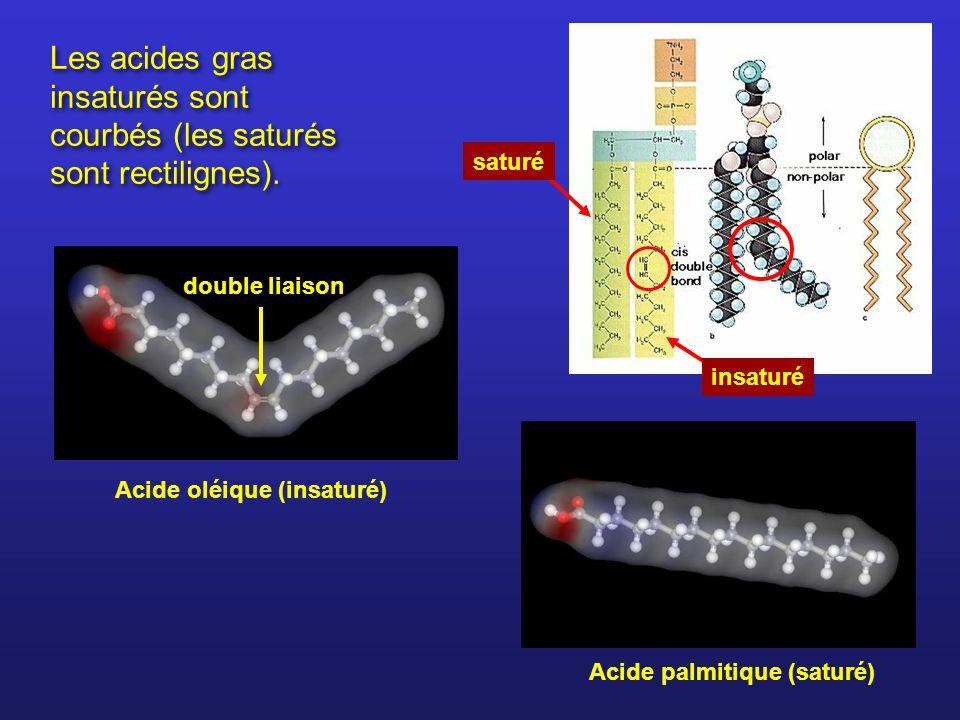 Les acides gras insaturés sont courbés (les saturés sont rectilignes). Acide oléique (insaturé) Acide palmitique (saturé) double liaison insaturé satu