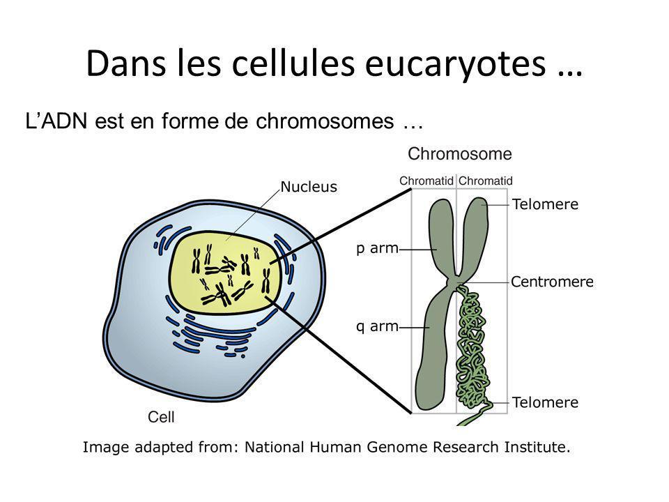 Dans les cellules eucaryotes … LADN est en forme de chromosomes …
