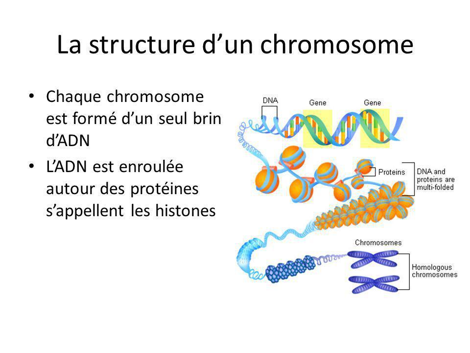 La structure dun chromosome Chaque chromosome est formé dun seul brin dADN LADN est enroulée autour des protéines sappellent les histones