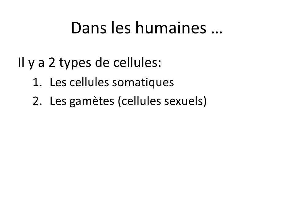 Cellules somatiques Toutes les cellules qui composent le corps Exemples: – Cellules cutanées, cardiaques, musculaires, osseuses, etc … Contiennent 23 paires de chromosomes (46 en totale) ou un vient de la mère et lautre vient du père Se divisent/se reproduisent par la mitose