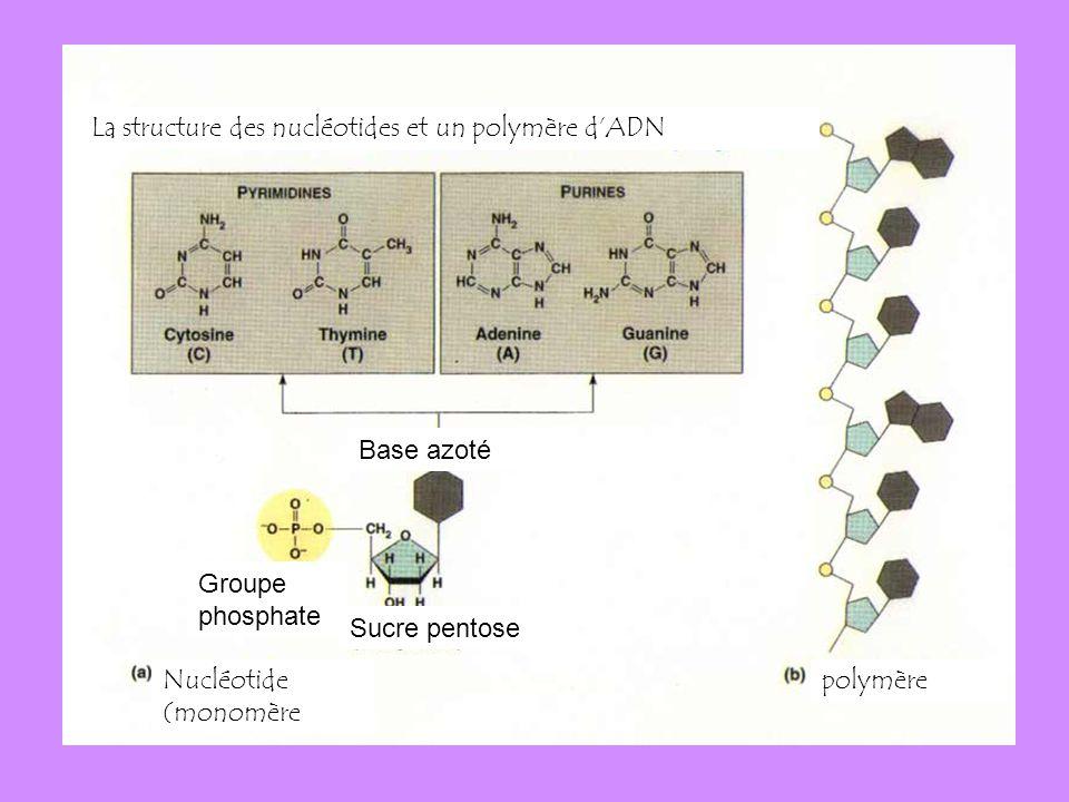 Example: La structure des nucléotides et un polymère dADN Base azoté polymèreNucléotide (monomère Groupe phosphate Sucre pentose