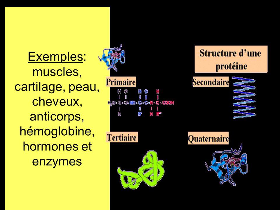 Exemples: muscles, cartilage, peau, cheveux, anticorps, hémoglobine, hormones et enzymes