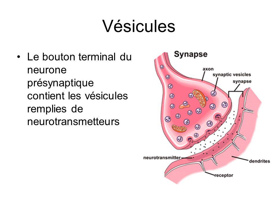 Vésicules Le bouton terminal du neurone présynaptique contient les vésicules remplies de neurotransmetteurs