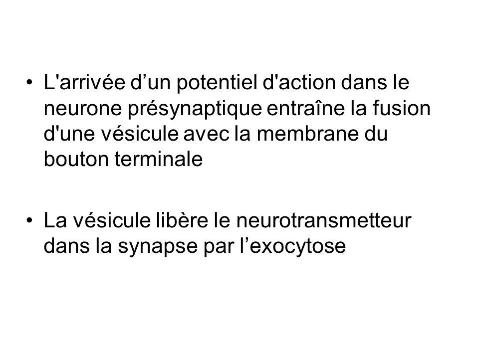 L'arrivée dun potentiel d'action dans le neurone présynaptique entraîne la fusion d'une vésicule avec la membrane du bouton terminale La vésicule libè