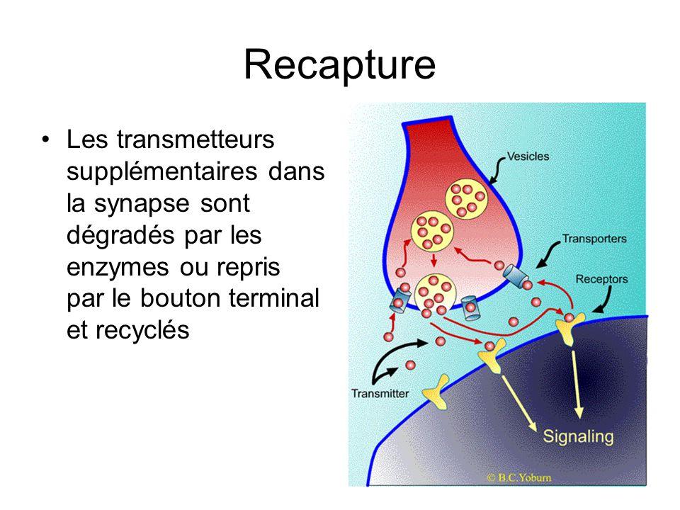 Recapture Les transmetteurs supplémentaires dans la synapse sont dégradés par les enzymes ou repris par le bouton terminal et recyclés
