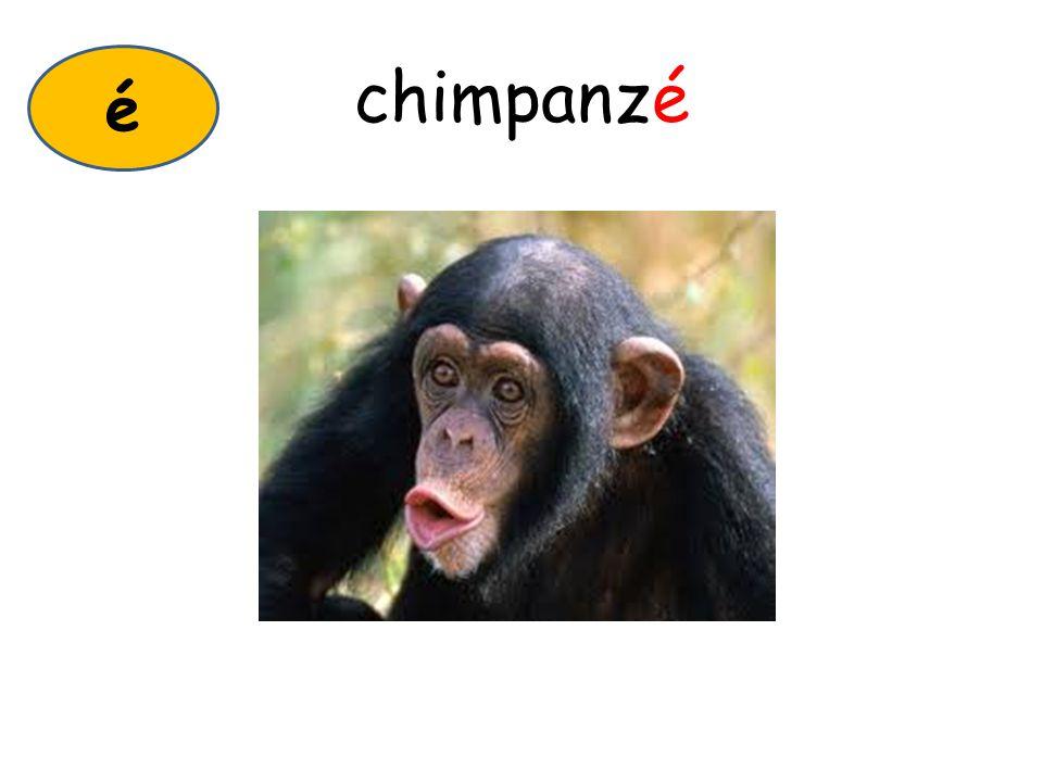 chimpanzé é