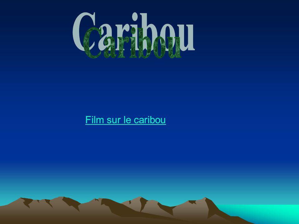 Film sur le caribou