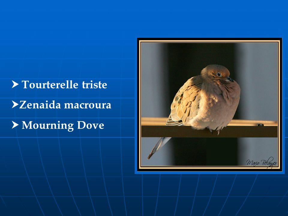 Tourterelle triste Zenaida macroura Mourning Dove