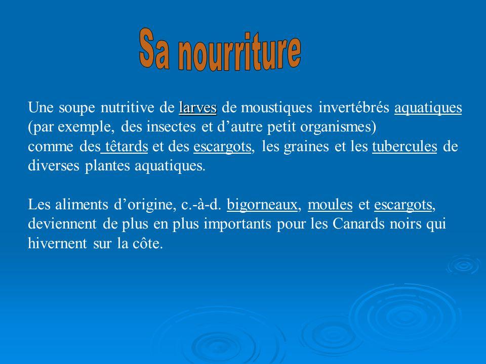 larves Une soupe nutritive de larves de moustiques invertébrés aquatiques (par exemple, des insectes et dautre petit organismes) comme des têtards et