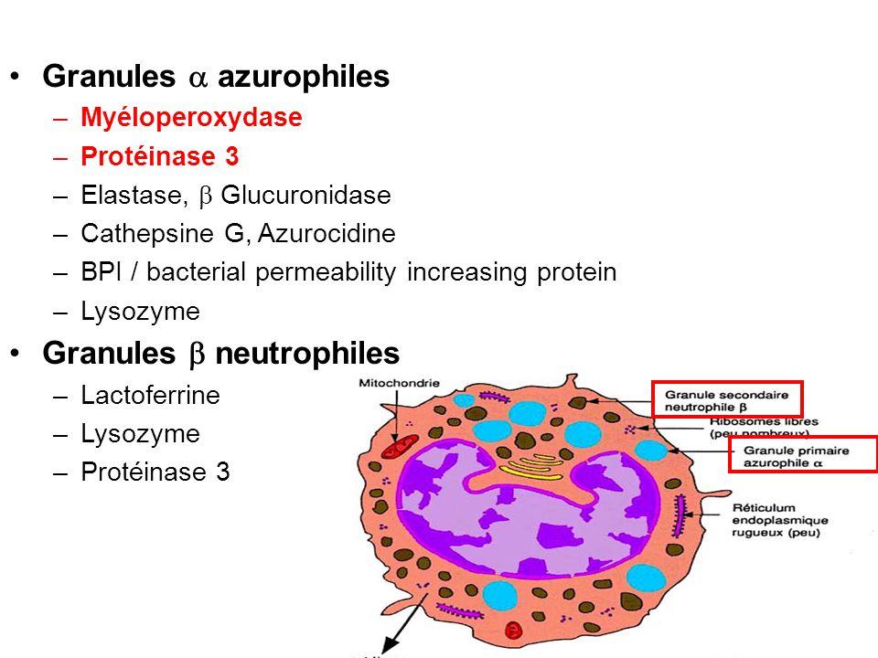 Granules azurophiles –Myéloperoxydase –Protéinase 3 –Elastase, Glucuronidase –Cathepsine G, Azurocidine –BPI / bacterial permeability increasing prote