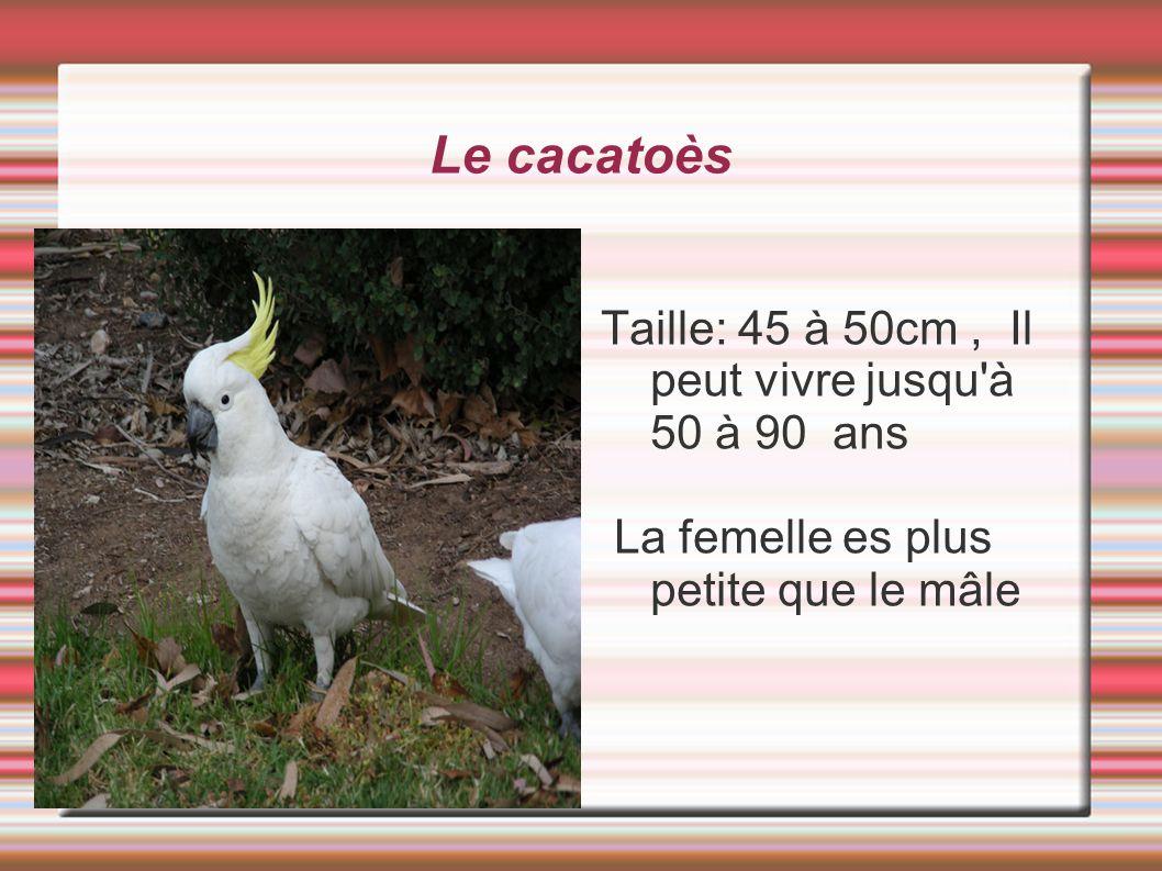 Le cacatoès Taille: 45 à 50cm, Il peut vivre jusqu'à 50 à 90 ans La femelle es plus petite que le mâle