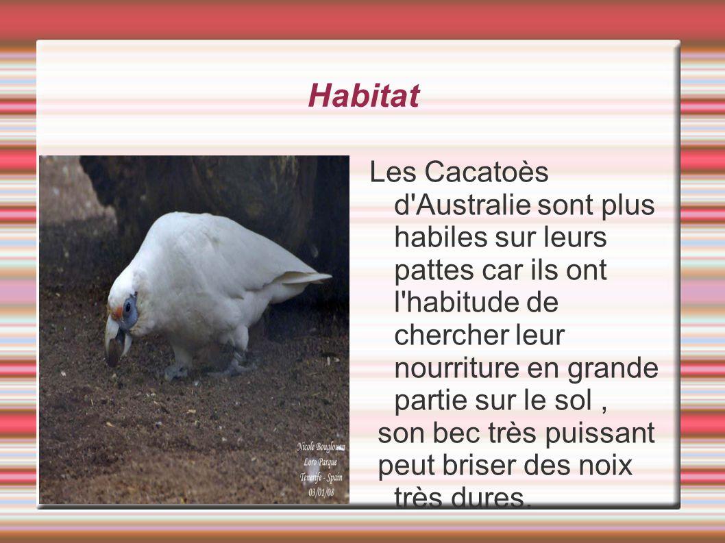 Habitat Les Cacatoès d'Australie sont plus habiles sur leurs pattes car ils ont l'habitude de chercher leur nourriture en grande partie sur le sol, so