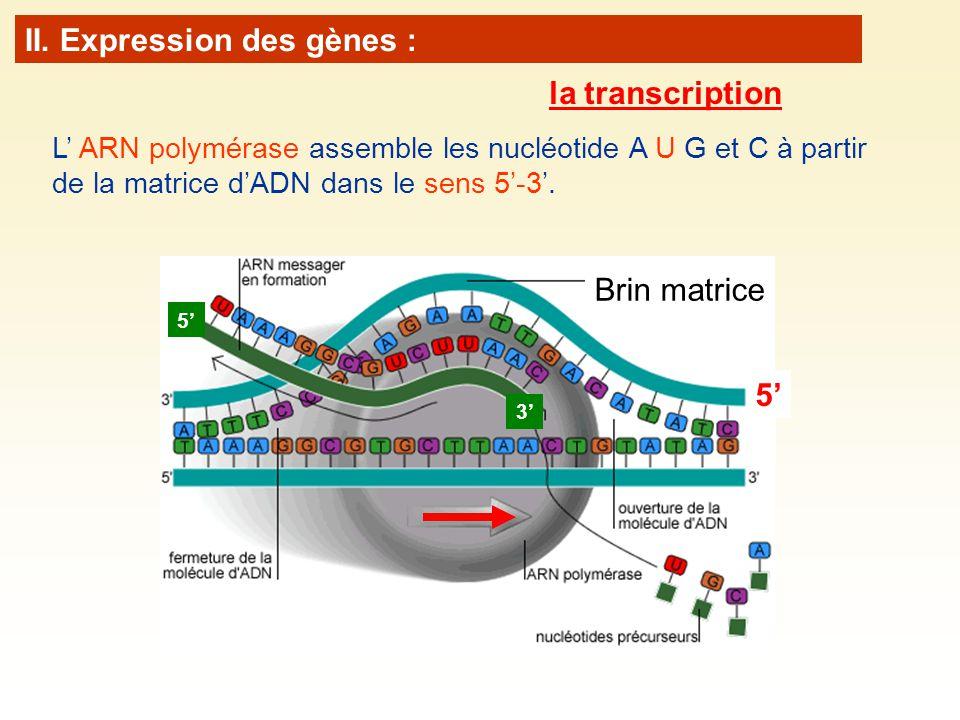 L ARN polymérase assemble les nucléotide A U G et C à partir de la matrice dADN dans le sens 5-3. Brin matrice 5 3 5 II. Expression des gènes : la tra