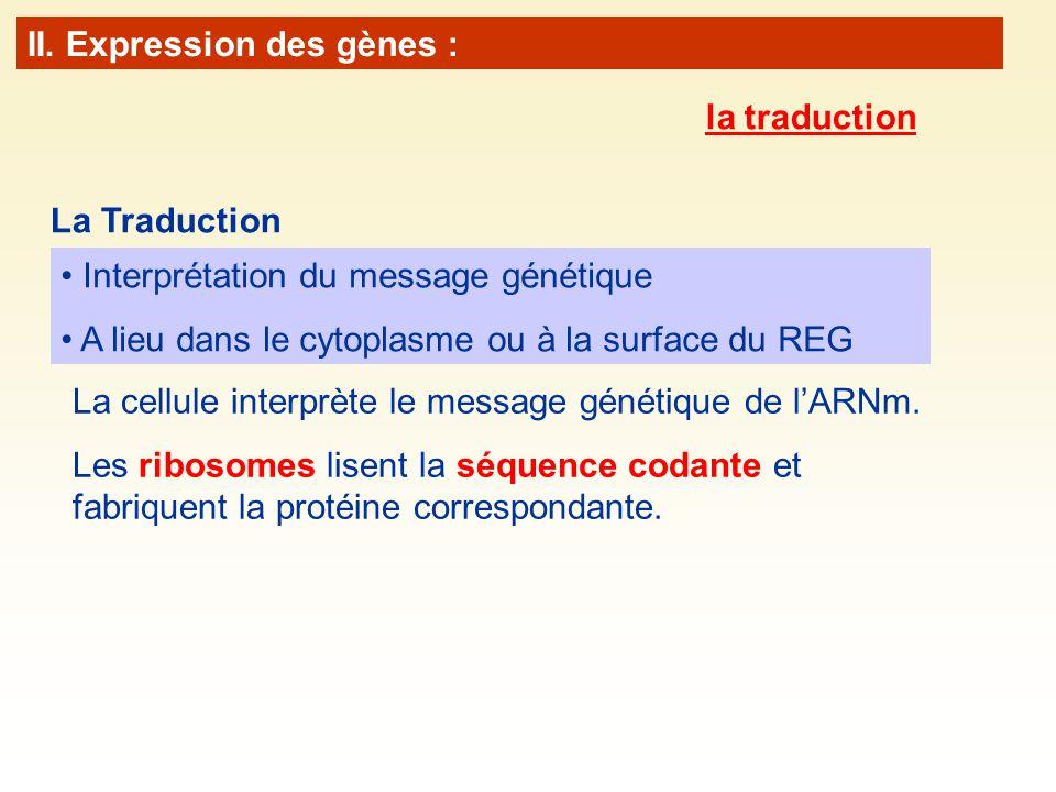 La cellule interprète le message génétique de lARNm. Les ribosomes lisent la séquence codante et fabriquent la protéine correspondante. La Traduction