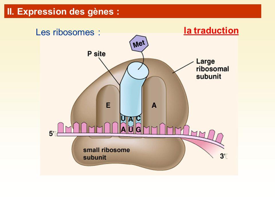 Les ribosomes : II. Expression des gènes : la traduction
