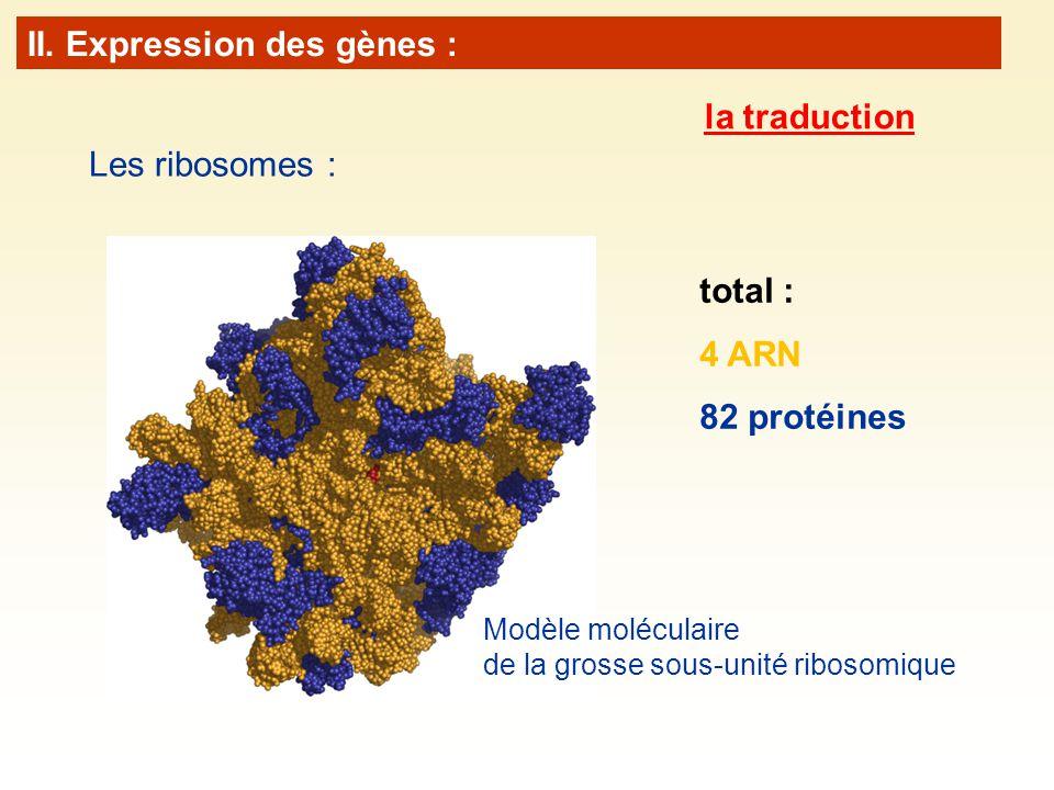 Les ribosomes : total : 4 ARN 82 protéines Modèle moléculaire de la grosse sous-unité ribosomique II. Expression des gènes : la traduction