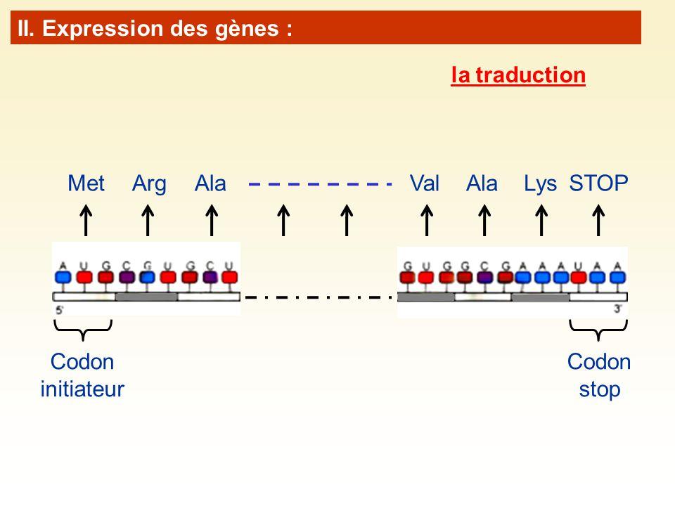 Codon initiateur Codon stop MetArgAlaValAlaLysSTOP II. Expression des gènes : la traduction