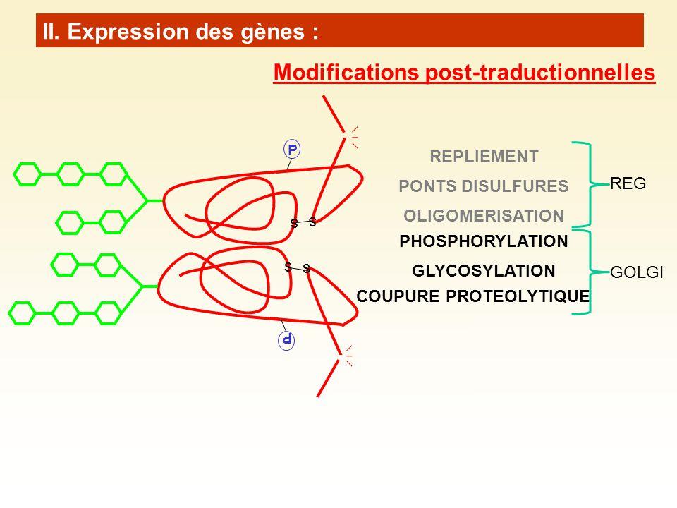 P s s s s P REPLIEMENT PONTS DISULFURES OLIGOMERISATION PHOSPHORYLATION GLYCOSYLATION COUPURE PROTEOLYTIQUE REG GOLGI II. Expression des gènes : Modif
