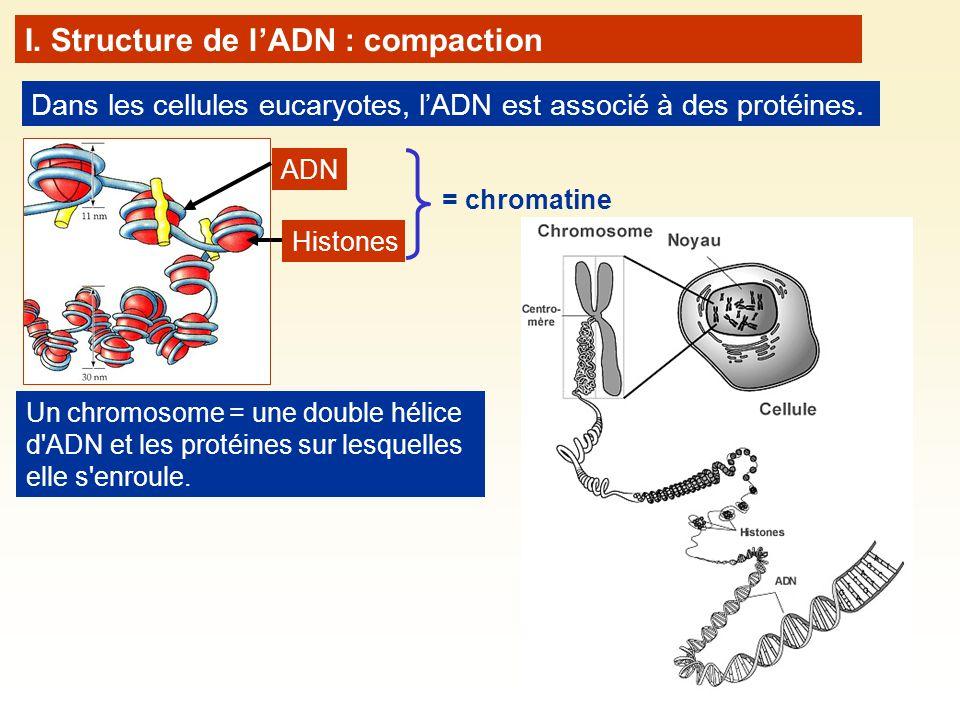 Dans les cellules eucaryotes, lADN est associé à des protéines. ADN I. Structure de lADN : compaction Histones = chromatine Un chromosome = une double