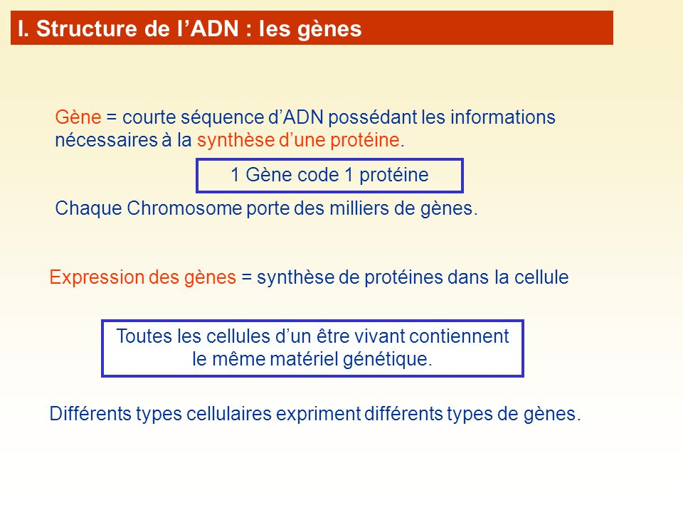I. Structure de lADN : les gènes Toutes les cellules dun être vivant contiennent le même matériel génétique. Gène = courte séquence dADN possédant les